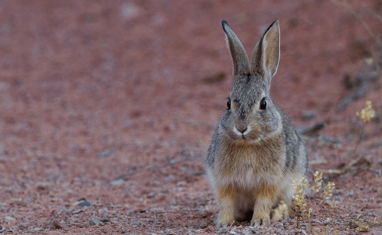 a photo of a desert cottontail