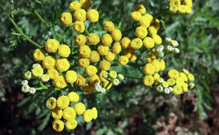 common-tansy-flower-2