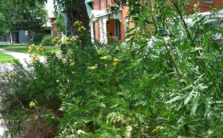 common-tansy-habitat