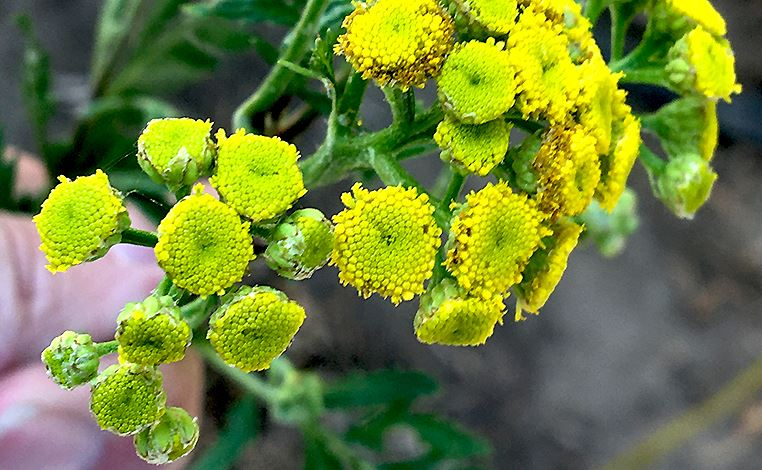 common_tansy_flower_2020
